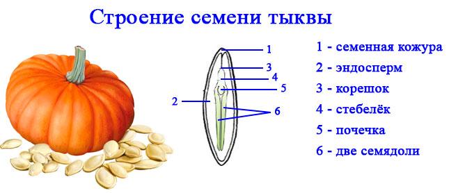 § 1. Строение семян