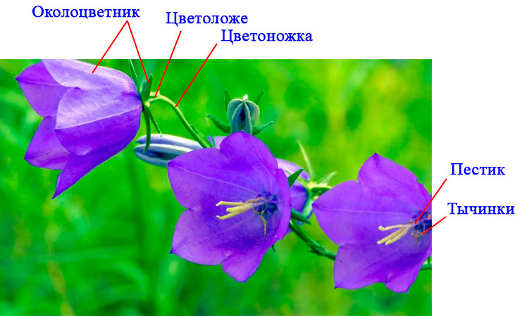 § 11. Цветок