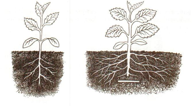 § 3. Зоны (участки) корня