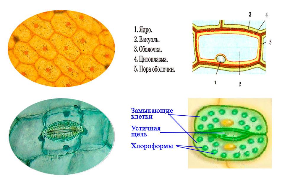 § 7. Клеточное строение листа