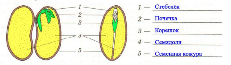 в какой части семени фасоли находятся
