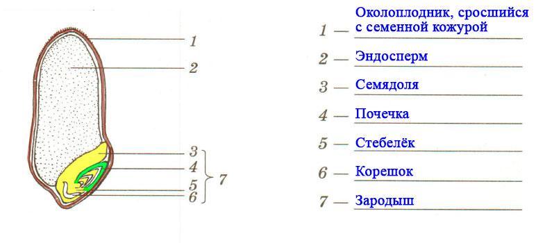 § 1. Строение семян - Пасечник. 6 класс. Рабочая тетрадь