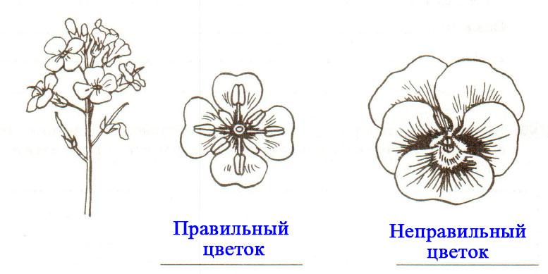 § 11. Цветок - Пасечник. 6 класс. Рабочая тетрадь