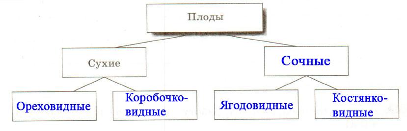 § 13. Плоды - Пасечник. 6 класс. Рабочая тетрадь