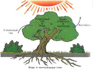 § 16. Фотосинтез - Пасечник. 6 класс. Учебник