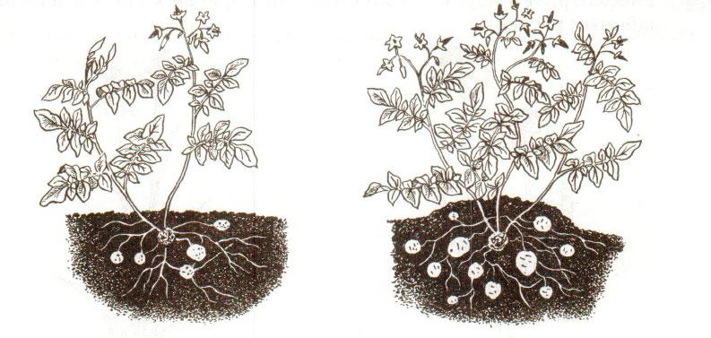 § 2. Виды корней и типы корневых систем