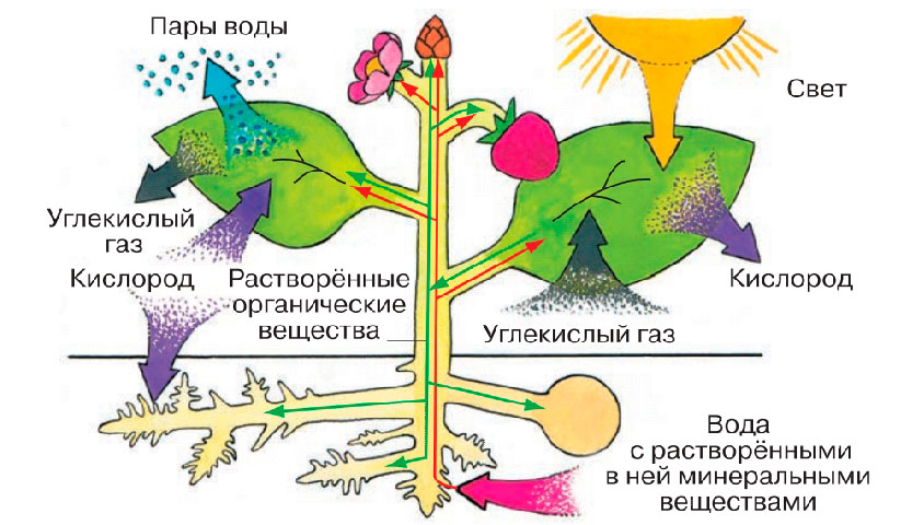 § 20. Прорастание семян - Пасечник. 6 класс. Учебник
