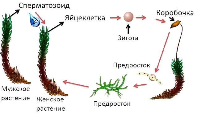 § 22. Размножение споровых растений - Пасечник. 6 класс. Учебник