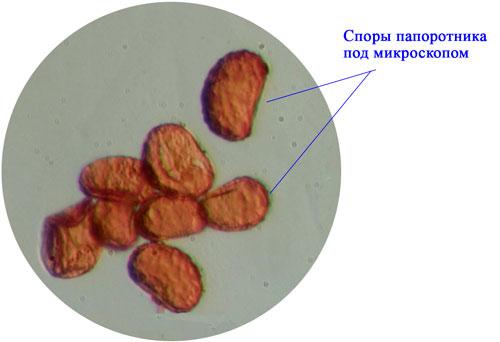 § 22. Размножение споровых растений