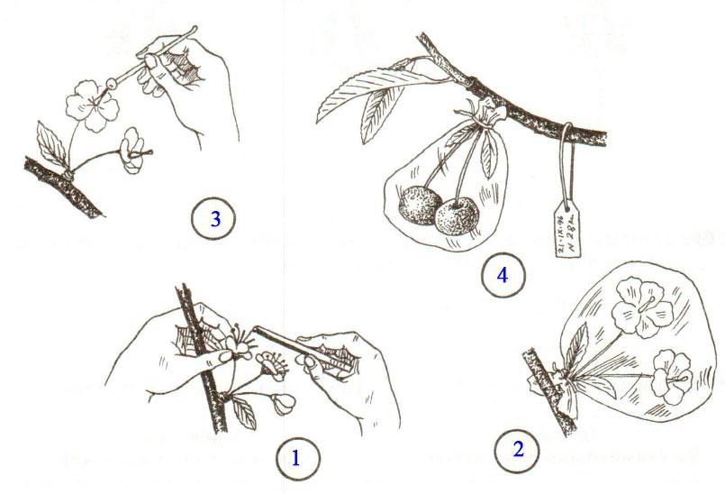§ 24. Половое размножение покрытосеменных растений