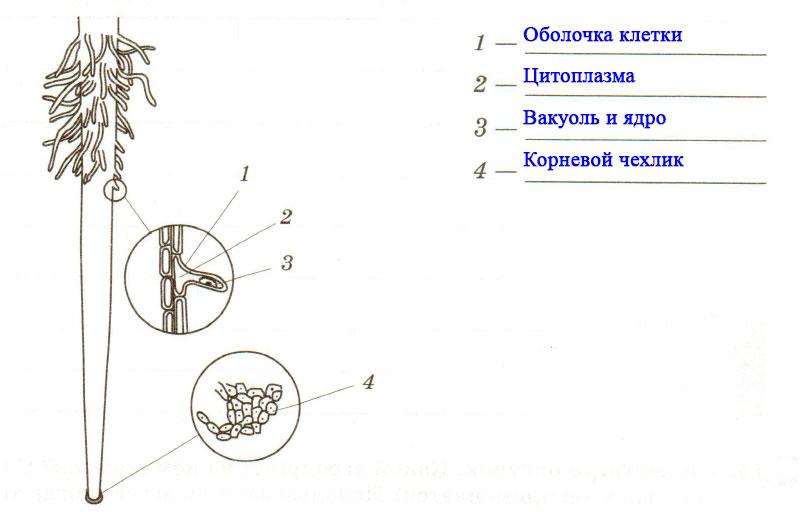 § 3. Зоны (участки) корня - Пасечник. 6 класс. Рабочая тетрадь