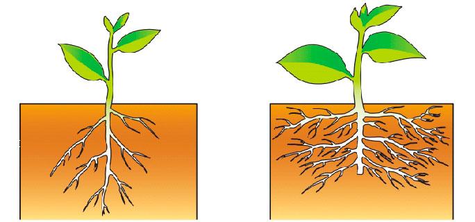 § 3. Зоны (участки) корня - Пасечник. 6 класс. Учебник