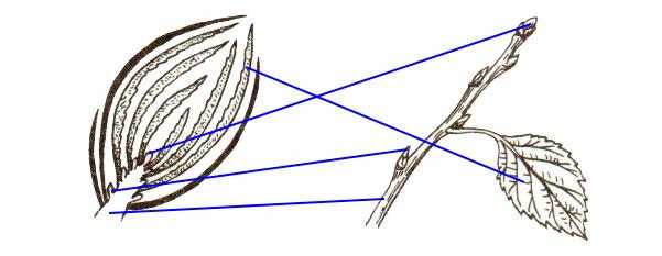 § 5. Побег и почки - Пасечник. 6 класс. Рабочая тетрадь