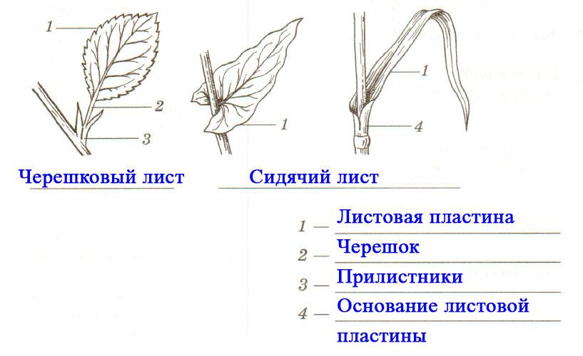 § 6. Внешнее строение листа