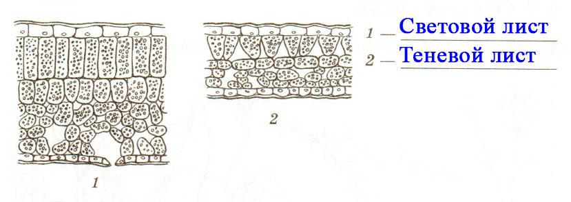 § 8. Влияние факторов среды на строение листа. Видоизменения листьев - Пасечник. 6 класс. Рабочая тетрадь