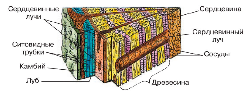 § 9. Строение стебля - Пасечник. 6 класс. Учебник