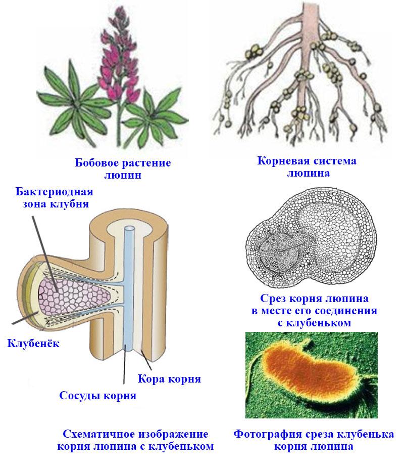 § 12. Роль бактерий в природе и жизни человека - Пасечник. 5 класс. Учебник