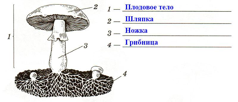 § 21. Шляпочные грибы - Пасечник. 5 класс. Рабочая тетрадь