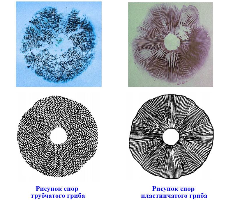 § 21. Шляпочные грибы - Пасечник. 5 класс. Учебник