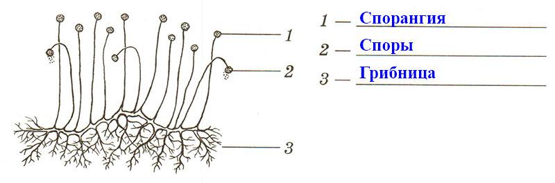 § 15. Плесневые грибы и дрожжи