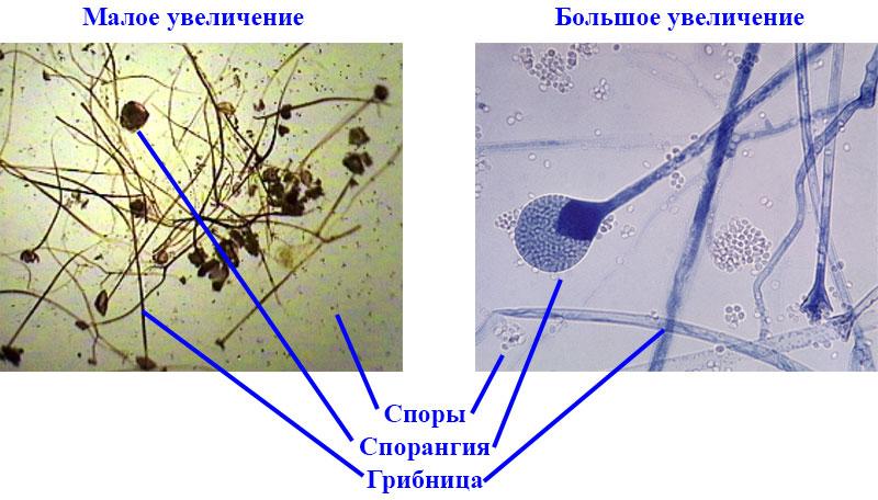 § 22. Плесневые грибы и дрожжи - Пасечник. 5 класс. Учебник