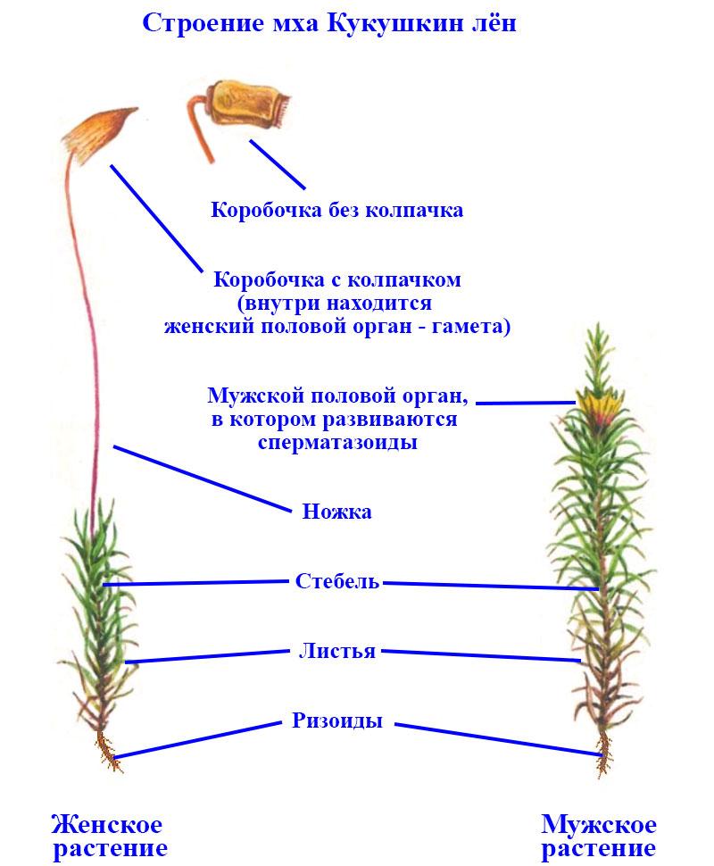 схема строения мха кукушкин лен фото