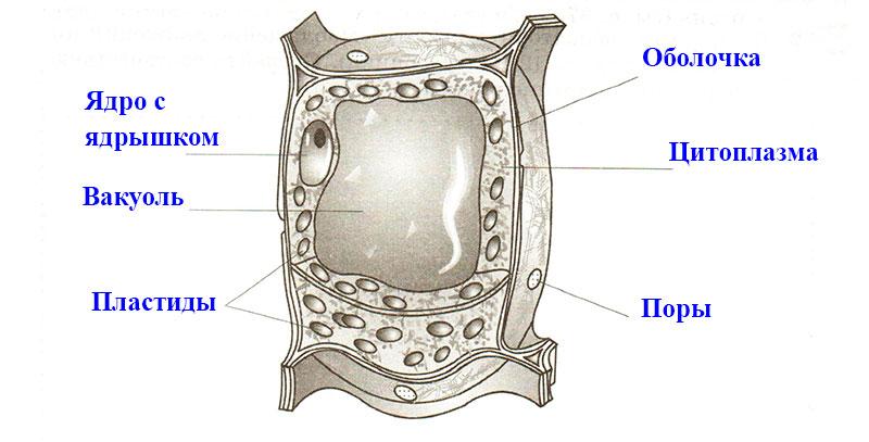 § 7. Строение клетки
