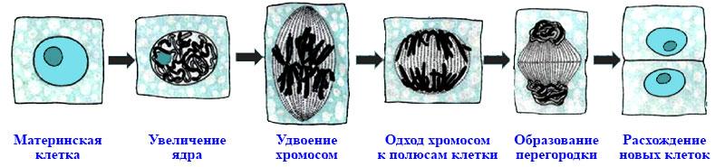 § 9. Жизнедеятельность клетки, её деление и рост - Пасечник. 5 класс. Учебник