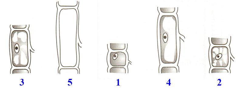 § 9. Жизнедеятельность клетки, её деление и рост - Пасечник. 5 класс. Рабочая тетрадь